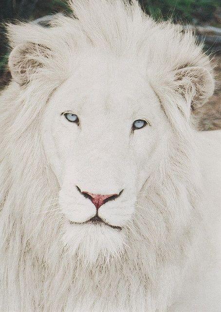 Rare Majestic White Lion