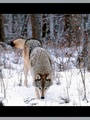 Wolf in snow - world-wildlife-fund photo