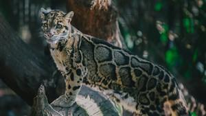 clouded leopard :)