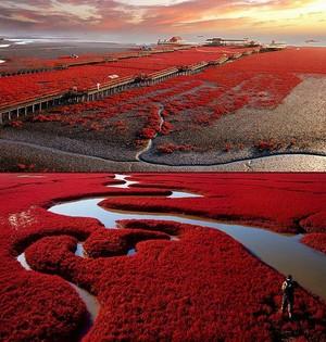 red beach, pwani in panjin, china ~