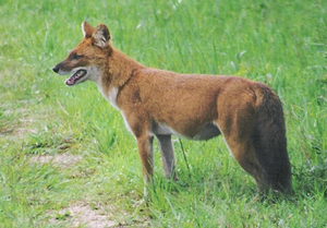 A Dhole in the Open