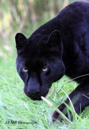 Black panter, panther
