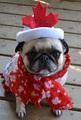 Canada Day Pug - pugs photo