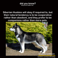 Companion Huskies