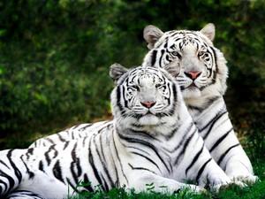 Majestic White tigri