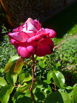 kulay-rosas mga rosas