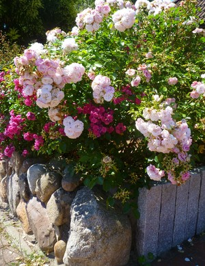 berwarna merah muda, merah muda mawar