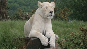 Rare Majestic White Lion