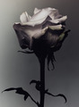 Rose                  - flowers photo