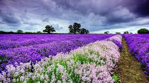 Rows of fleurs