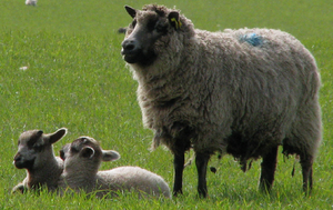 mouton, moutons and Lambs