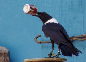 White Necked Raven Drinking कोक :)