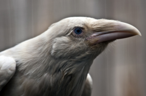 White Raven...Yes, They Exist