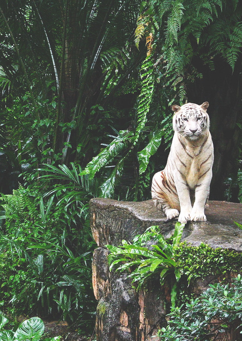 White Tiger - Animals Photo (37255804) - Fanpop