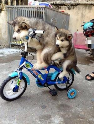 huskies learn to ride
