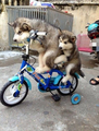 huskies learn to ride - puppies photo