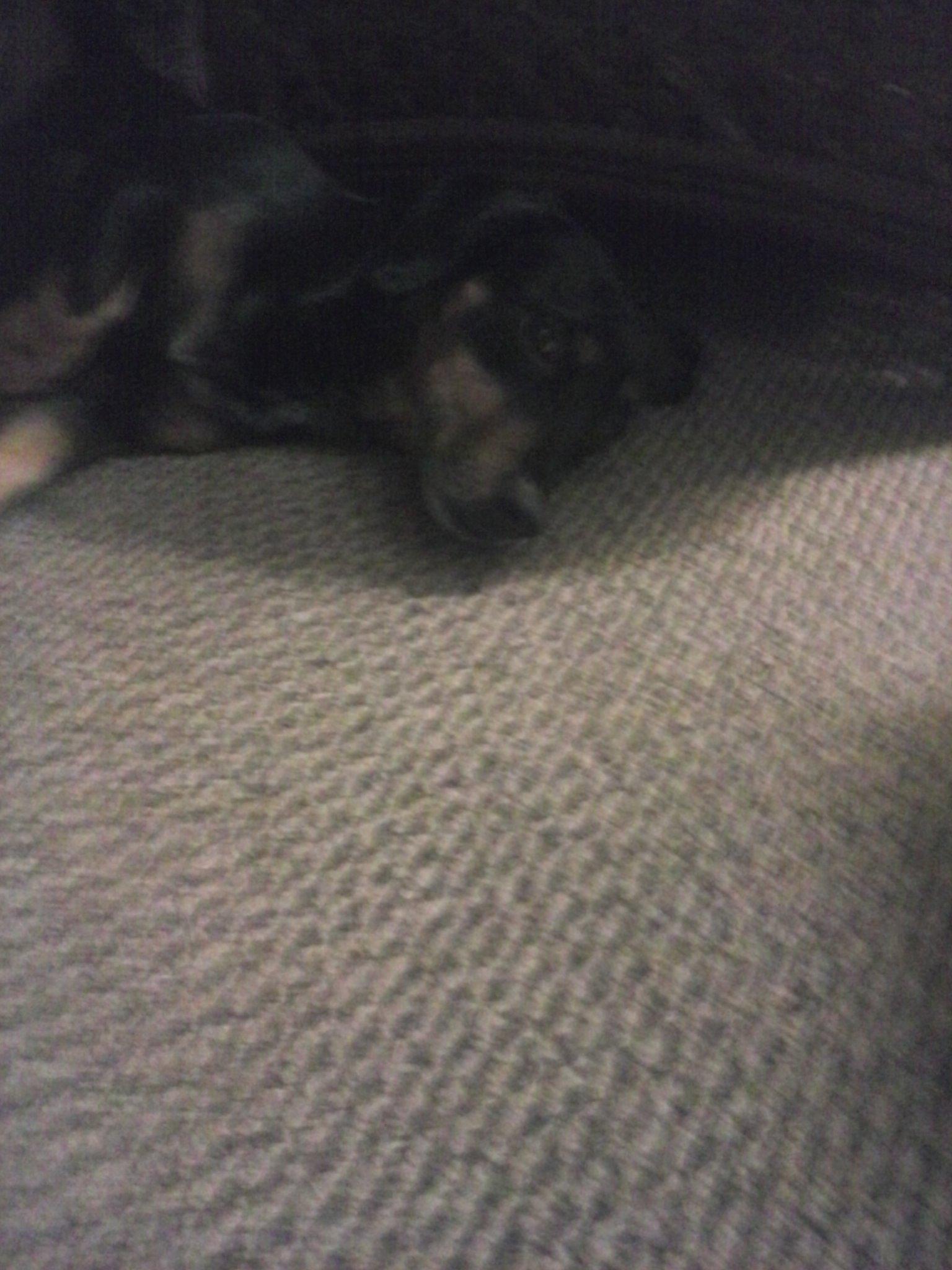 my dog dachshund/rottweiler