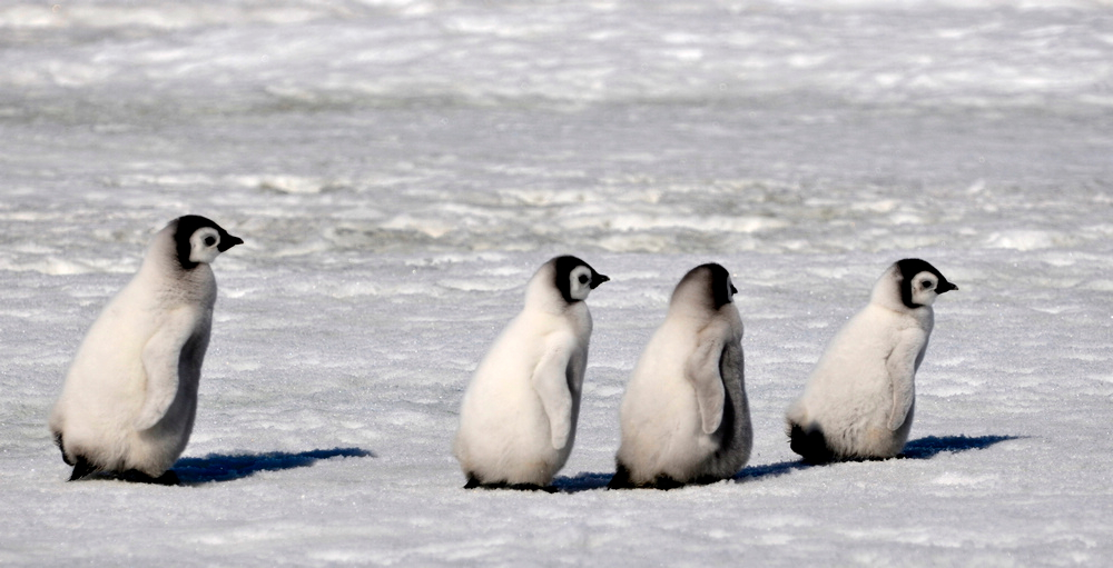 Images of cute baby penguins