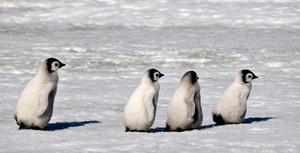 Baby Penguins Marching.