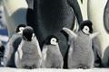 Cute Baby Penguins.