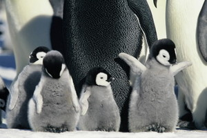 Cute Baby Penguins.