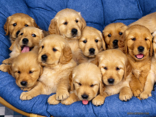 Dogs achtergrond with a golden retriever called Cute puppies!