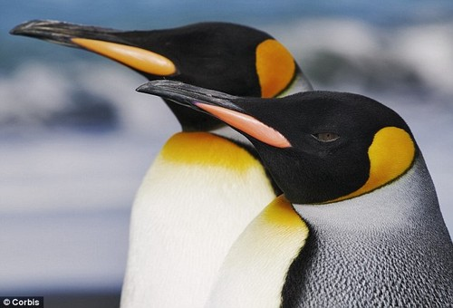 Penguins images Emperor and King Penguin. wallpaper and ...