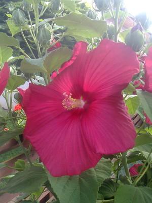 Grandma's hibiscus
