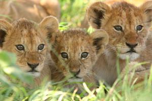Lion cubs <3