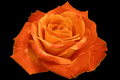 Orange Rose - roses photo