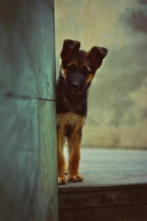 anak anjing, anjing