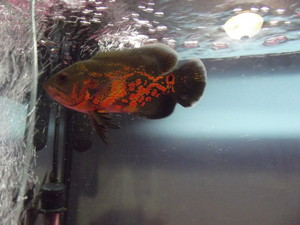 my oscar cichlid poisson name boss