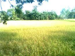 nasi, beras land village