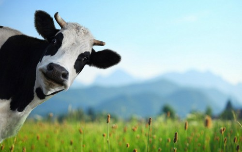Animals wallpaper probably containing a dairy cattle titled Cow