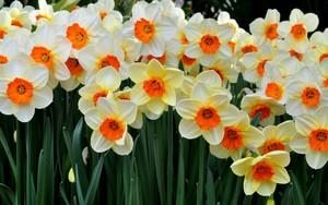 Daffodil دن