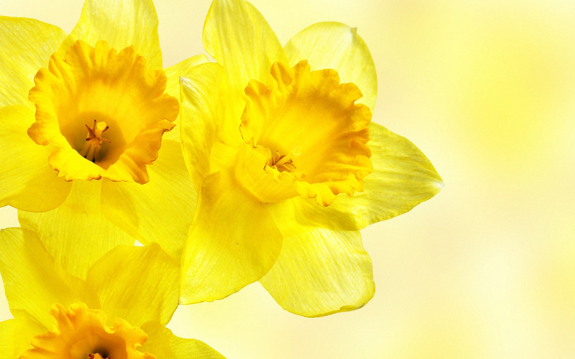 daffodil day images daffodil day hd wallpaper and background photos