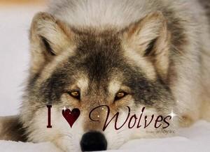 I 사랑 늑대