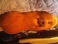 My new pig Hans - guinea-pigs photo