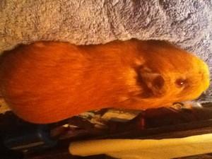 My new pig Hans