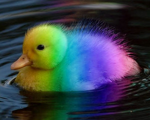 Rainbow duckling