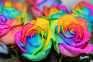 arc en ciel roses