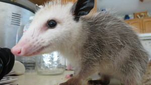 Shade the opossum