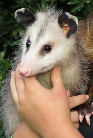 Trevor the opossum