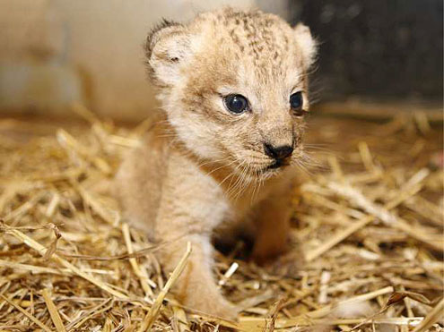 Lion Cubs Images Cute Lion Cub Wallpaper And Background Photos