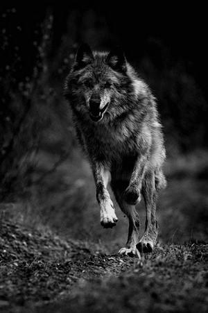 狼, オオカミ