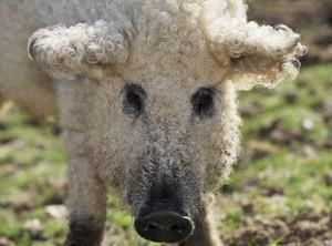 A Sheep-pig