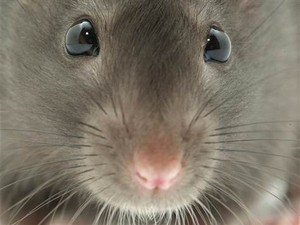 A very cute ratto