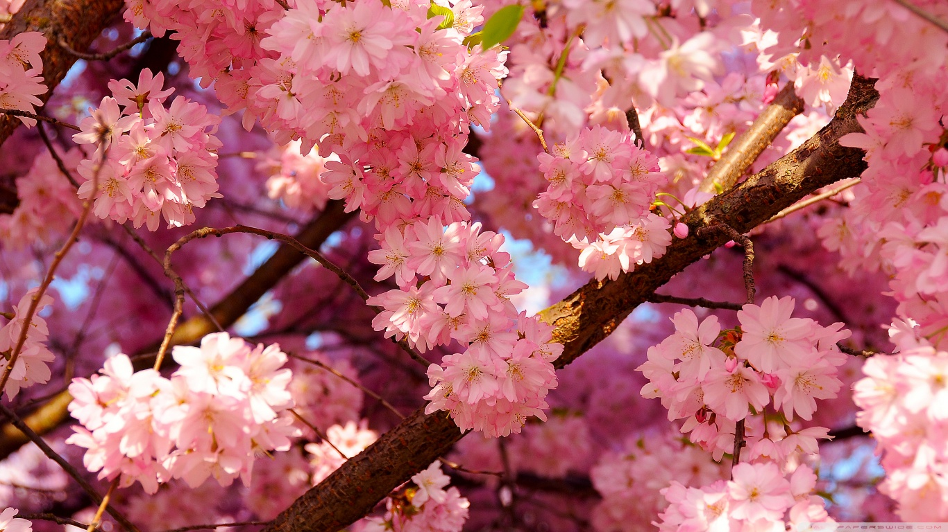 Japanese Cherry Tree Sakura Images Blossom HD Wallpaper And Background Photos