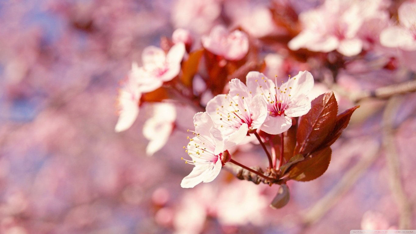 Japanese Cherry Tree Sakura Images Cherry Blossom Hd Wallpaper