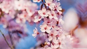 quả anh đào, anh đào Blossom